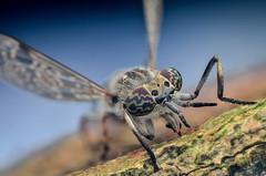 Haematopota pluvialis (epioxi) Tags: macro horsefly macrophotography schneiderkreuznach haematopotapluvialis componon regenbremse commonhorsefly epioxi