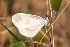 Piride de la moutarde - Domaine des Oiseaux (Darth Jipsu) Tags: calmont languedocroussillonmidipyrn france languedocroussillonmidipyrnes fr domaine des oiseaux mazre papillon lpidoptres blanc