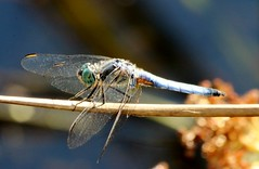 A Trip to the Pond (shutterbusterbob) Tags: dragonfly damselfly insect bug canon canoneos canoneos70d canon70d washington washingtonstate wild wing wings nature northwestwashington pacificnorthwest pond blue black brown green grass gold skagitcounty skagitvalley sedrowoolley eos eos70d eoscanon 70d