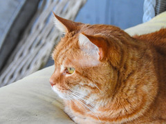 Scooter Bird Watching (Gabriel FW Koch (fb.me/FWKochPhotography on FB)) Tags: cat animal feline eyes ears cute beautiful pretty fur staring scooter boss nikon p900 bokeh orange ginger orangecat