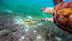 Nemo film I learned that turtles can live 150 to 200 years depending on the species.  /   De la pelcula de Nemo aprend que las tortugas pueden vivir entre 150 a 200 aos segn su especie.    #GoPro #GoProMx #GoProTravel #PhotoOfTheDAy # (abrahammojica1) Tags: rivieramaya lovetogopro me cancun quintanaroo gopromx fotodelda mxico mochileromx goprolife travel gaviota goprohero gopromoff gopole mxicodesconocido goprotravel inspiredbyyou beahero beach gopro ab visitmexico picoftheday instagood photooftheday