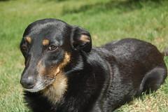 Foquita. (Anala Abella) Tags: dog naturaleza green dogs nature grass animals perro pasto perros animales perra