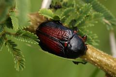 Apocnosis striata (zimbart) Tags: africa insects zimbabwe beetles arthropoda coleoptera scarabaeidae penhalonga cetoniini apocnosis apocnosisstriata smallbridgedam