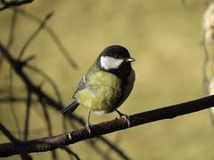 IMG_8637 (Marko_J_Aho) Tags: bird viikki talitiainen