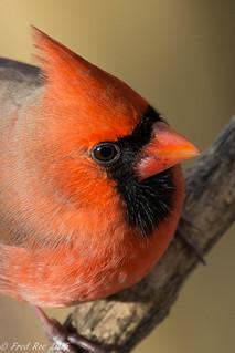 Northern Cardinal [Cardinalis cardinalis]