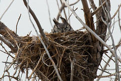 Female owl in a nest in Commerce City, Colorado.