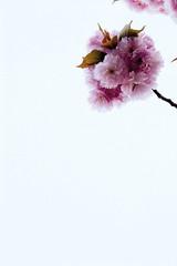 _MG_9517-2.jpg (ClaudiaOHB) Tags: detail deutschland flora europa ast symbol details natur rosa blumen verliebt blume blatt blaetter weiss baum farbig nordrheinwestfalen bielefeld liebe schoen hanami bunt rosé baeume deudeutschland knospe blueten zweige poesie hintergrund fruehling bluete leicht kirsche knospen obstbaum kirschbluete zweig bluehen romantisch vertikal freigestellt symbolbild aeste einzeln schwebend poetisch schoenheit japanischezierkirsche bluetenpracht einzelne zierlich zierde getont flaeche vereinzelt janpanisch kirschbluetenzweig kirschlueten bvcr flaechig sybmolisch