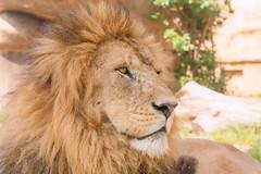 Strong ♂ - African Lion (Belteshazzar (AKA Harimau Kayu)) Tags: africa cats male female zoo lion strong felines león leone bigcats löwe leona tobu africanlion pantheraleo אריה лев félins tobuzoo أسد 狮 africancats
