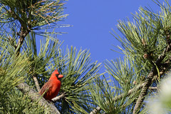 Cardinal In A Pine Tree (seniors30) Tags: red bird pinetree nikon cardinal feathers bluesky redbird d3200 stevensenior