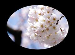In full glory (karakutaia) Tags: sun tree love nature japan paper temple tokyo heart afotando flickraward flickrglobal allbeautifulshotsandmanymoreilovenature flowerstampblackandwhite transeguzkilorestreetarturbanagreatshotthisisexcellentcontestmovementricohgxrserendipitygroupbluenatureicapturecardjapanesepapercardflickraward5jtrasognoerealtabstractelementsorganizersimplysuperb
