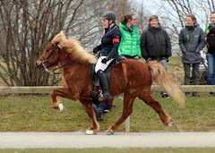 (kimmaysd) Tags: horse sport gang pony reiter pferd equestrian turnier trot reiten icelandic trab hengst icelandichorse reitturnier galopp reiterin reitsport islnder tlt schritt mhne islandpferd gangpferd