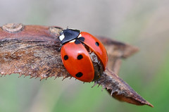 Ladybug (sylvette.T) Tags: macro ladybug naure insecte coccinelle 2015 bagueallonge nikond5100 objectifnikon50mm14g