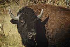 AmericanBisonPortrait-2 (wfgphoto) Tags: light portrait sunshine buffalo bison thefonz