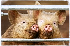 Two little Piggies (jayneboo) Tags: two dogs countryside dangerous shropshire mud farm framed farming babe pigs friendly porky framing muddy piggies squeal odc fram farmgate gloucesteroldspot sansaw