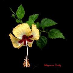 Hibisco/Hibiscus (Altagracia Aristy) Tags: blackbackground amrica dominicanrepublic hibiscus hibisco tropic caribbean antilles laromana cayena caribe repblicadominicana fondonegro carabe trpico antillas sfondonero quisqueya altagraciaaristy fujifilmfinepixhs10 fujihs10 fujifinepixhs10