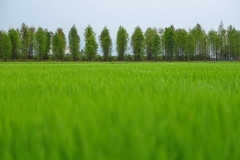 DSC_5086~1  () Deciduous Cypress (michaeliao27) Tags: park county town rice paddy district souther cypress deciduous    changhua yuanlin