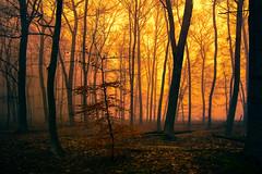 Abends im Wald (radonracer) Tags: sonnenuntergang nebel wald abendstimmung niederrhein baume niederrein boeckelt