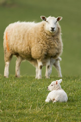 Watched Over (Ed Swift) Tags: canon sheep 7d lamb 2015 300mmf4lis