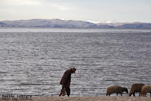 Ovejas - lago Titicaca