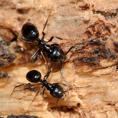 Jet black ant (Lasius fuliginosus) (Ian Redding) Tags: uk nature fauna insect wildlife ant social british invertebrate hymenoptera bwars