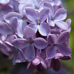Lilac (The Julia) Tags: flower garden spring lilac syringa macroflowerlovers