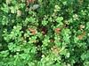 ʻIhiʻihilauākea & ʻAeʻae (D.Eickhoff) Tags: plant flower fern hawaii oahu hawaiian niihau medicinal molokai villosa medicinalplant bacopa waterfern hawaiianislands plantaginaceae antioxidant marsilea pepperwort babytears marsileaceae waterclover plantainfamily monnieri bacopamonnieri waterhyssop marsileavillosa taxonomy:binomial=marsileavillosa ʻihilāʻau ʻihiʻihi ʻihiʻihilāʻau ʻihiʻihilauākea hawaiianpepperwort hawaiianwaterclover hawaiianwaterfern villouswaterclover taxonomy:binomial=bacopamonnieri ʻaeʻae dwarfbacopa