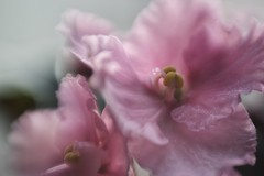 pink shimmer (s@ssyl@ssy) Tags: pink blur flower macro closeup lensbaby soft pretty bend blossom stamen bloom violets africanviolet composer saintpaulia rufflededges sweet50 8mm16mm macroconverters