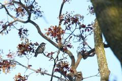 Blackpoll Warbler (Rita Wiskowski) Tags: park wisconsin spring milwaukee migration lakepark warbler songbird blackpollwarbler blackpoll milwaukeecounty