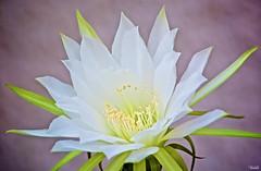 Come closer (Blas Torillo) Tags: puebla mxico mexico flor flower belleza beauty blanco white naturaleza nature fotografaprofesional professionalphotography fotgrafosmexicanos mexicanphotographers nikon d5200 nikond5200