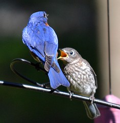 Pop Bluebird and One Kid (Annie's Birds & Other Cool Stuff!) Tags: bluebird fledgling