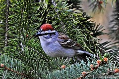Chipping Sparrow (--Anne--) Tags: trees tree cute nature birds animals wildlife sparrow sparrows spruce chipping