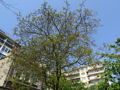 Juglans regia (L. P. T) Tags: juglandaceae juglansregia
