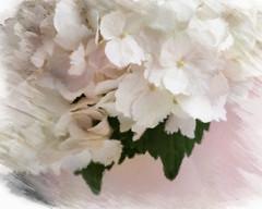 Painted Hydrangea (lclower19) Tags: pink white painterly closeup hydrangea odc artistaimpressopro