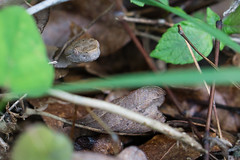 Copperhead lurking the leaves (Tyler Newman) Tags: nature leaves snake wildlife hidden camouflage copperhead