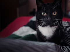 Scary Patrick (lar-f) Tags: pet black animal cat nose eyes funny indoor depthoffield whiskers stare meow