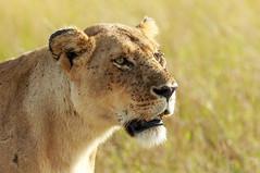 Leão (dragoms) Tags: africa kenya wildlife lion mara leão maasaimara áfrica wildlifephotography quénia wildlifeconservancy pantheraleonubica dragoms