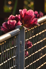 HFF & friday flower (nirak68) Tags: fence deutschland tulip zaun lbeck tulipa tulpe ger 140366 schleswigholsteinkreisfreiehansestadtlbeck 2016ckarinslinsede