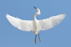Wings Display (bmse) Tags: county orange wings snowy off take egret wingspan wingsinmotion