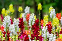 antirrhinum (Maccro.markun) Tags: plant flower garden natural bright outdoor flowerbed antirrhinum