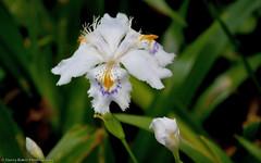 Fringed Iris (gerry.bates) Tags: iris plant canada vancouver leaf spring flora bc britishcolumbia mauve bud perennial fower irisjaponica vandusenbotanicalgarden patternsinnature fringediris