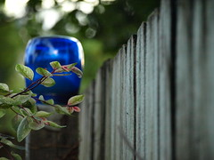 If you strive for the moon, maybe you'll get over the fence. (Shelby's Trail) Tags: blue plant glass fence backyard post bokeh fences hff sooc fencedfriday
