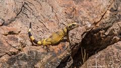 Junior basking on the rocks (Photosuze) Tags: california nature animals yellow rocks desert wildlife young lizards reptiles juveniles stripedtail commonchuckwalla chuckwallas