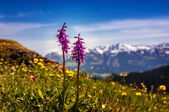knabenkraut (Ronny Gäbler) Tags: schnee licht sommer himmel wolken blumen lila berge gelb gras grün blau sonne bäume reise weisen schönheit schöne bergwiese frühlingsblume