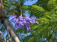 Flowers on the Jacaranda Tree (Neal D) Tags: california flower tree palmsprings jacarandatree oasisresort