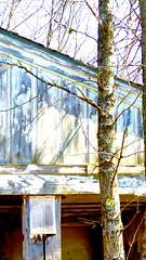 abandoned cottage    LkMi/US2  5/16 (Ma Wolff) Tags: wood white painterly tree abandoned shadows cottage lakeside lakemichigan greatlakes bark walls shadowplay upperpeninsula lakehouse decaying theup portraitofahouse iphone5s