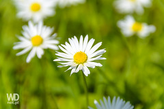 Absolutely wonderful daisies (WDnet) Tags: blue summer sky sun plant flower green nature beautiful field grass closeup garden season landscape spring flora natural bright blossom outdoor background meadow sunny daisy d3100