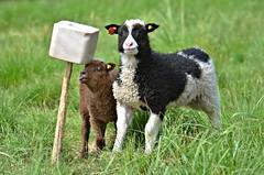 pose nicely little sister, and don`t be naughty!!! (KvikneFoto) Tags: summer norge sheep sommer sau lamb lam hedmark 2016 kvikne saugeit