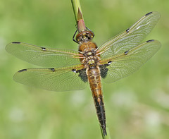 Immature Four-spotted chaser (Roger H3) Tags: insect four dragonfly spotted chaser odonata exuvia