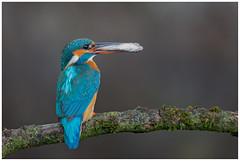 Common Kingfisher (female) - IJsvogel (vrouw) (Alcedo atthis) (Martha de Jong-Lantink) Tags: 2016 alcedoatthis ijsvogel eisvogel isfugl martinpescatore martínpescador martinpêcheurdeurope kungsfiskare jeroenstel commonkingfisherfemale ijsvogelvrouw jeroenstelnatureandwildlifephotography