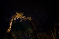 leopardo (daniel gigliotti2012) Tags: light color nature beautiful animal museum night leopardo evening xpro fuji ngc best fujifilm colori bestia animol xphotographer impagliato xpro1 xf27mm xphotographi